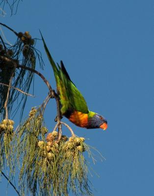 Rainbow Lorikeet in Casuarina _DSC3035