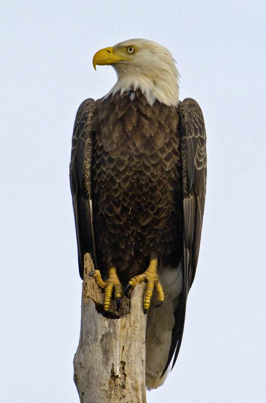 Bald Eagle  2593