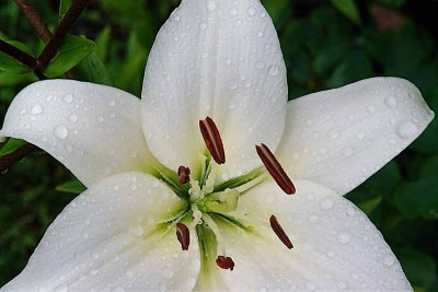 White Lilly R1