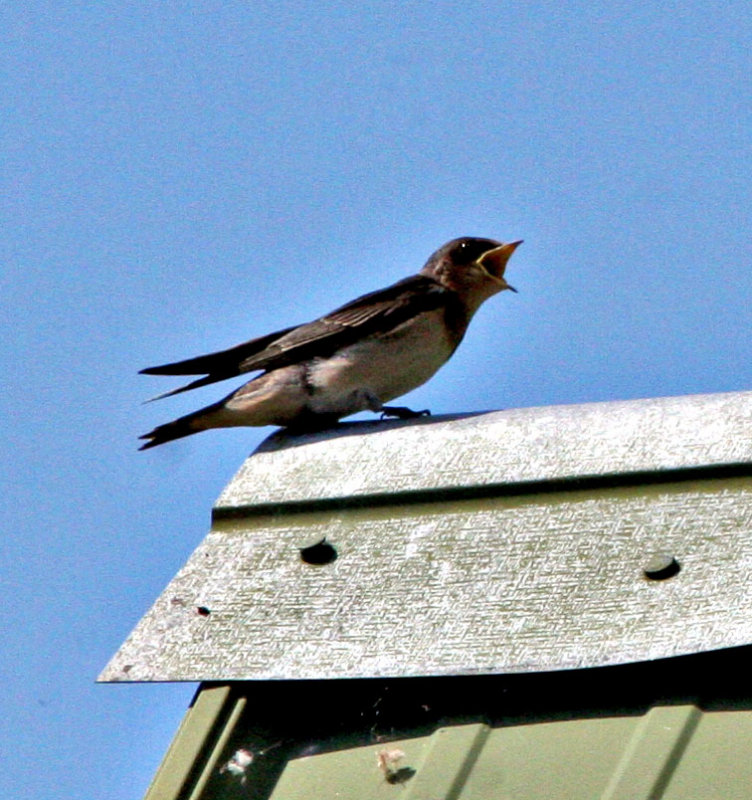 Sqawking baby swallow