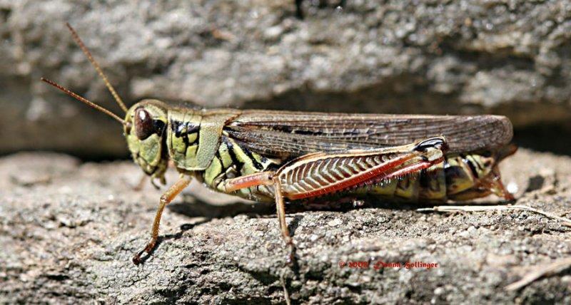 Female Grasshopper