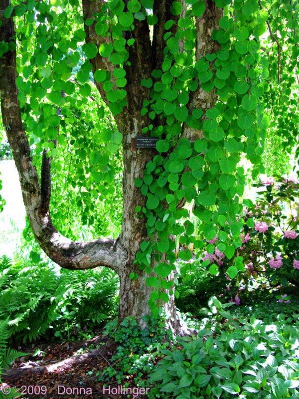 Weeping Katsuura Tree, Summer