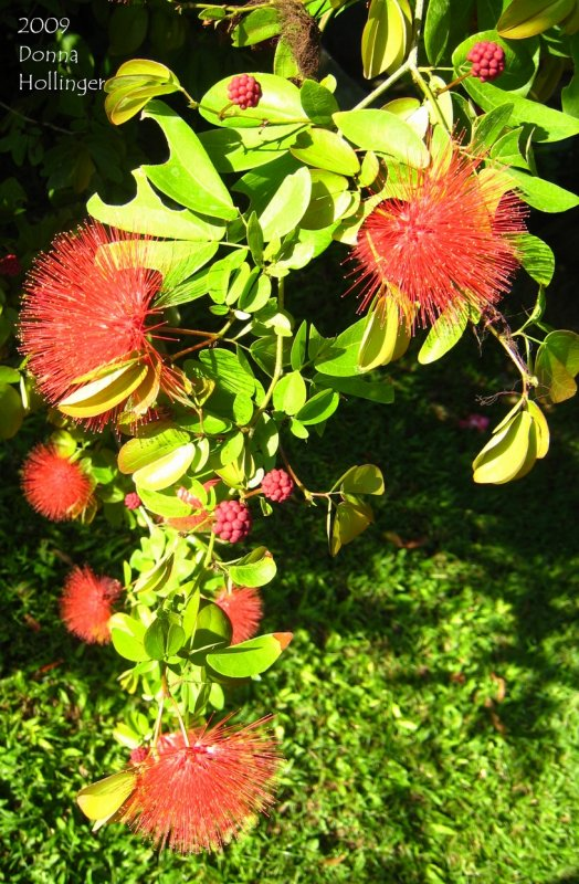 Calliandra: First Red Flower