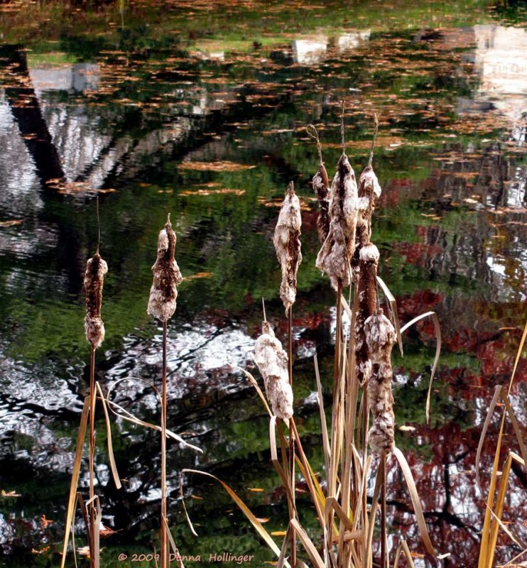 Shedding Cattails at Spectacle Pond