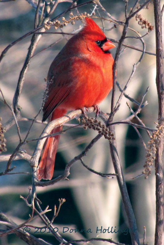 Male Cardinal At Mount Auburn Cemetery