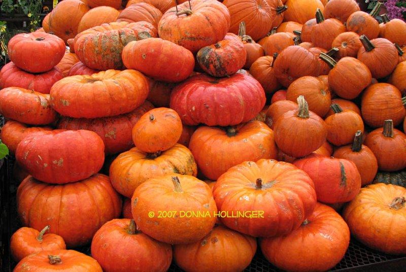 Rouge Vif DEtampes, Red-Orange Pumpkins