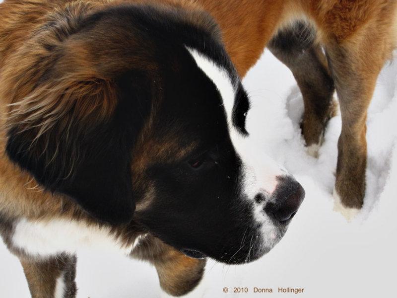 Ginger the St Bernard in the Snow