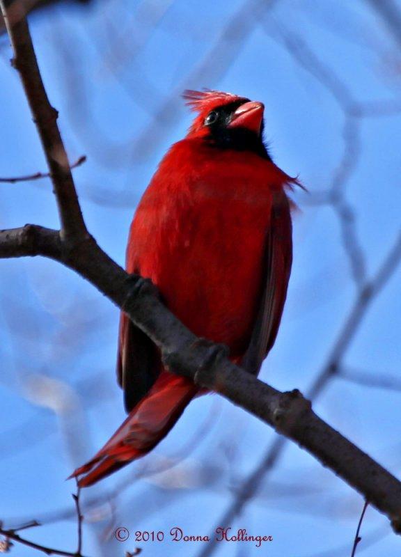 Male Cardinal At Mount Auburn Cemetery