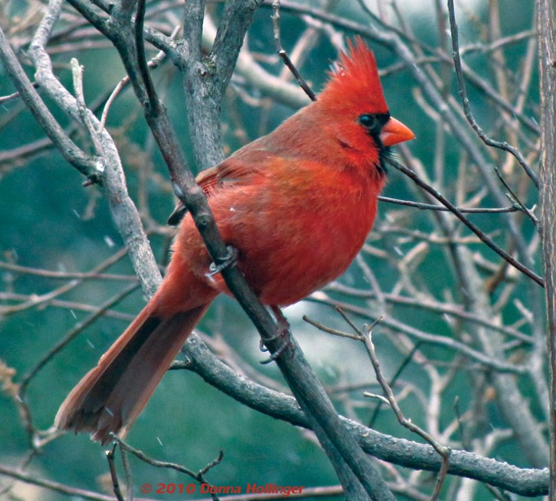 Male Cardinal Hanging On In The Wind