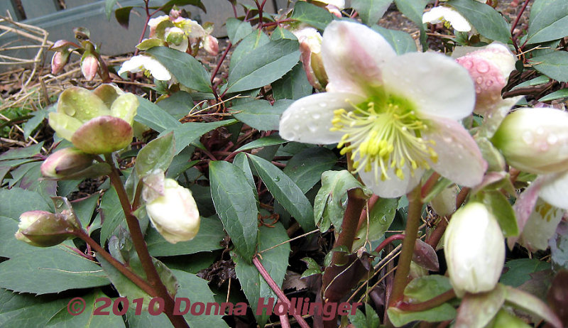 White Hellebore on Willard Street
