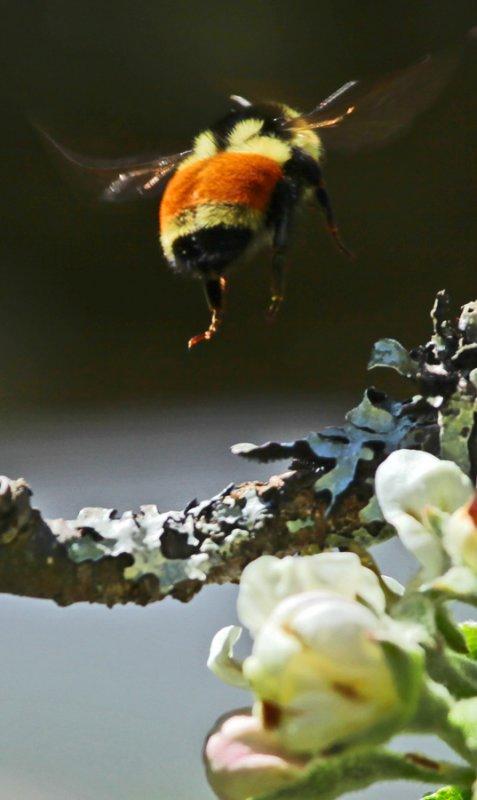 Orange Bumble Bee in the Apple Tree