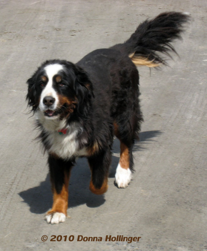 Mikes Dog (Bernise Mountain Dog)