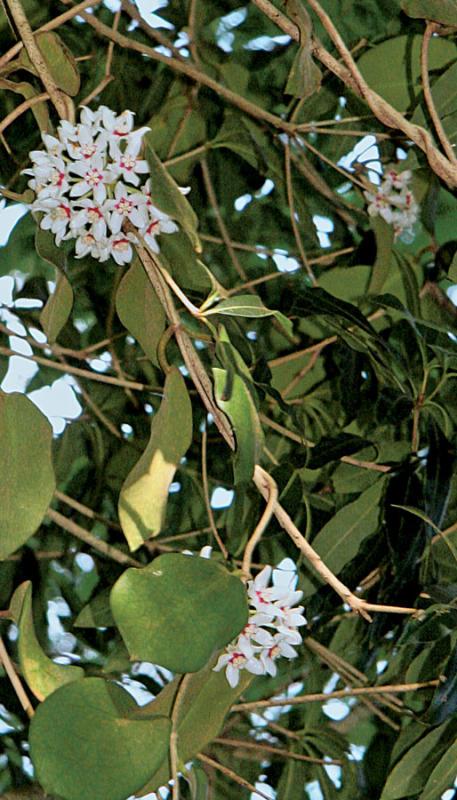 Wild Hoya in Kauai
