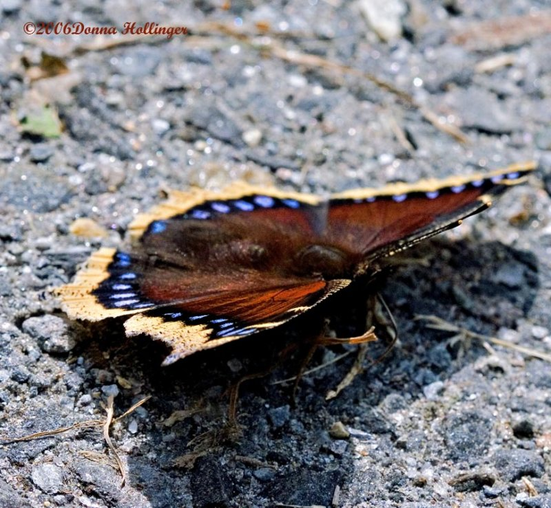 Mourning Cloak Butterfly in Stealth Mode