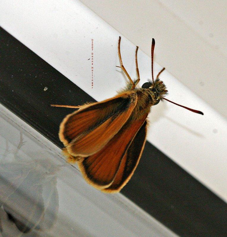Least Skipper Butterfly