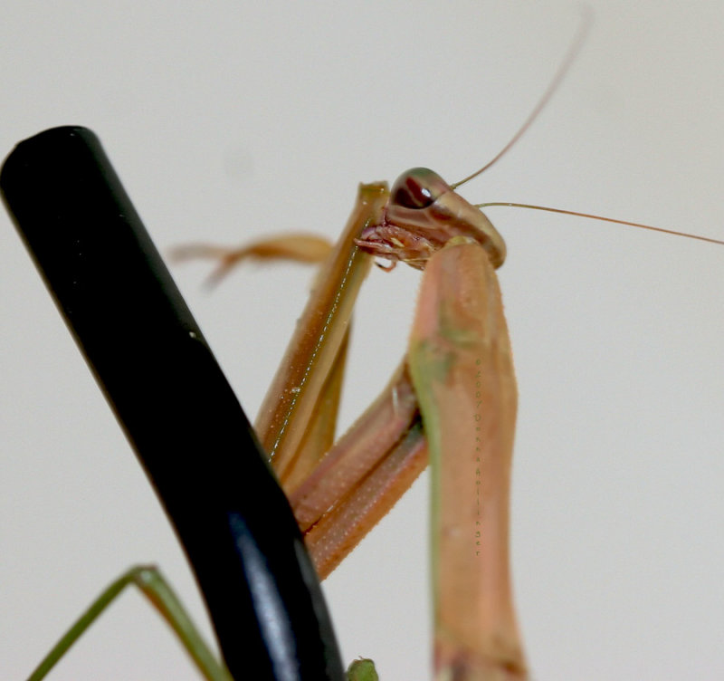 Missy Mantis cleaning her elbow