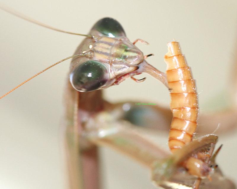Pet praying mantis slurping