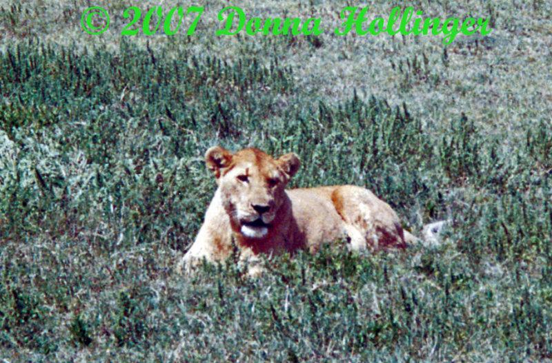Teddy Bear Ears on this female lion