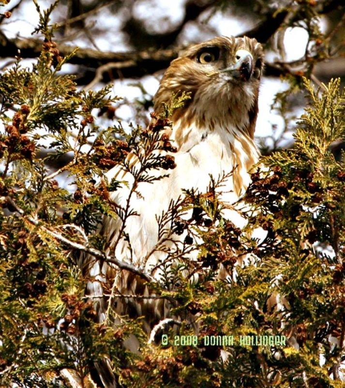 Hawk Eyed