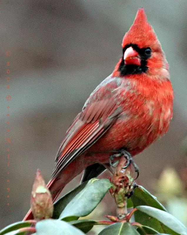 Mr Cardinal