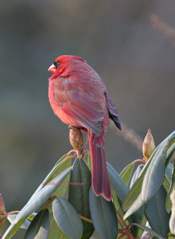 Scrunched up Cardinal , Crest down