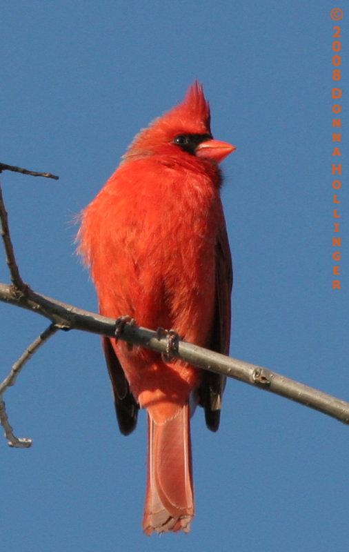 Profile Male Cardinal
