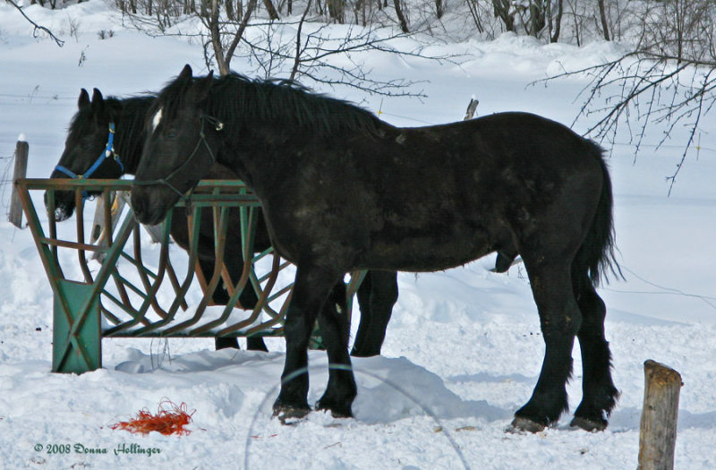 Eating hay in the snow