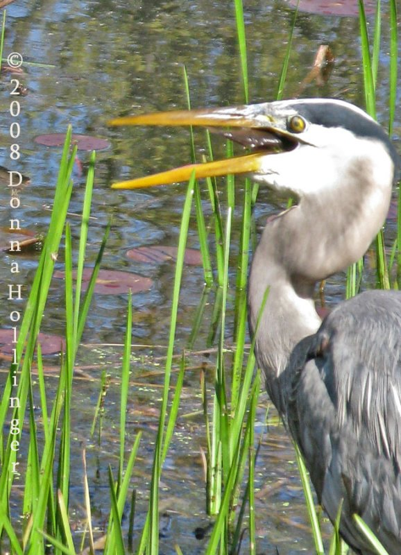 A fish for the Great Blue Heron This Morning