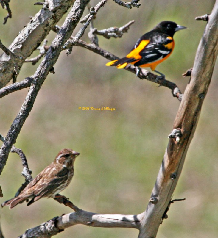 Female Rose-Breasted Grosbeak and the Baltimore Oriole