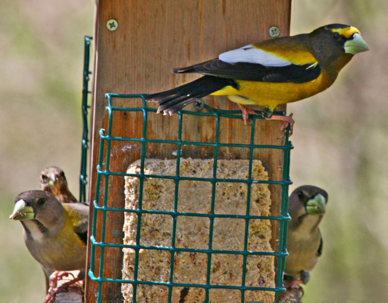 Evening Grosbeak Circus!