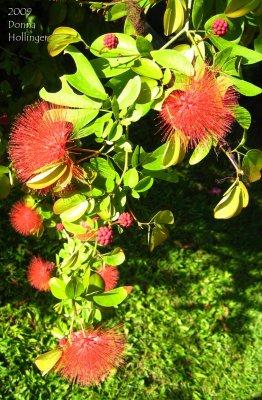 Calliandra: First Red Flower
