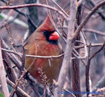 Female Cardinal Hiding