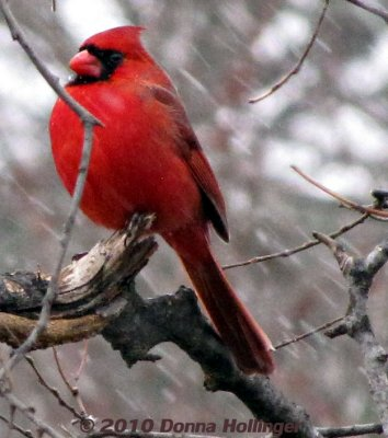 Blowy Snow and a Male Cardinal