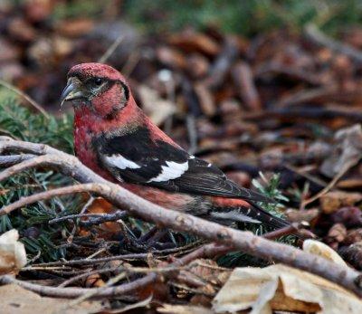 Male Crossbill at Mount Auburn
