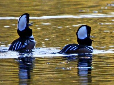 2 Hooded Mergansers on Fresh Pond