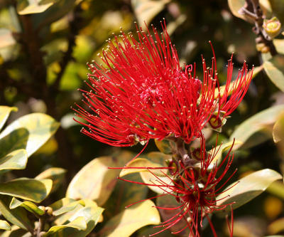 'Ohi'a lehua tree flower