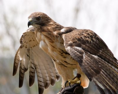 Redtail Glory