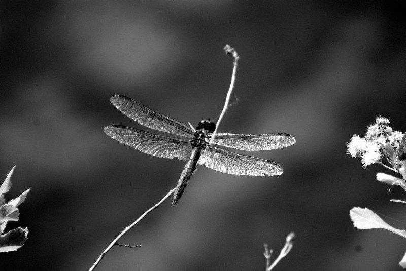 Gossamer wings...