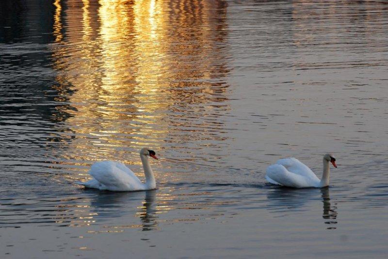 Swans in sunrise reflection - Port Credit Marina - March 19-2010.jpg