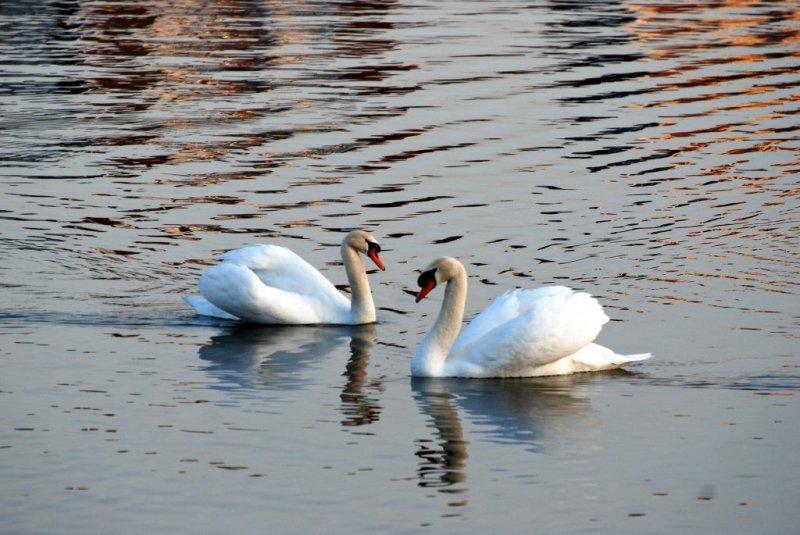 Swans - Port Credit Marina - March 19-2010.jpg