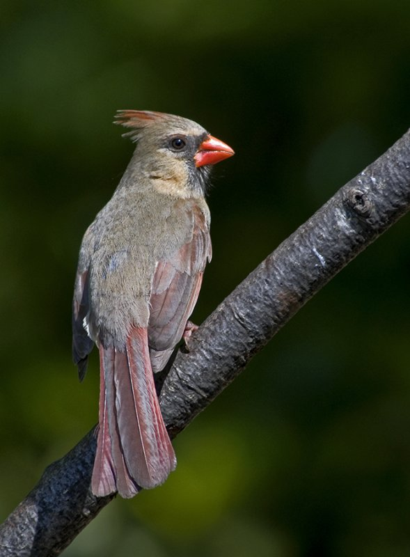 Female, Northern Cardinal (Cardinalis cardinalis)