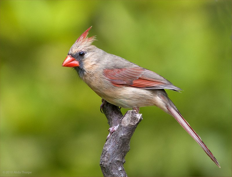 Northern Cardinal, Female (cardinalis cardinalis)