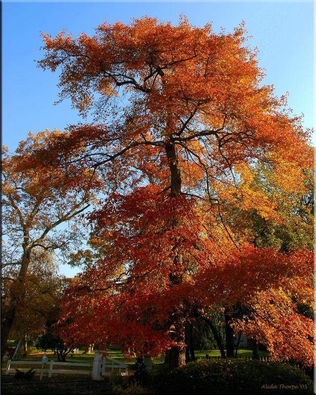 sorghum tree
