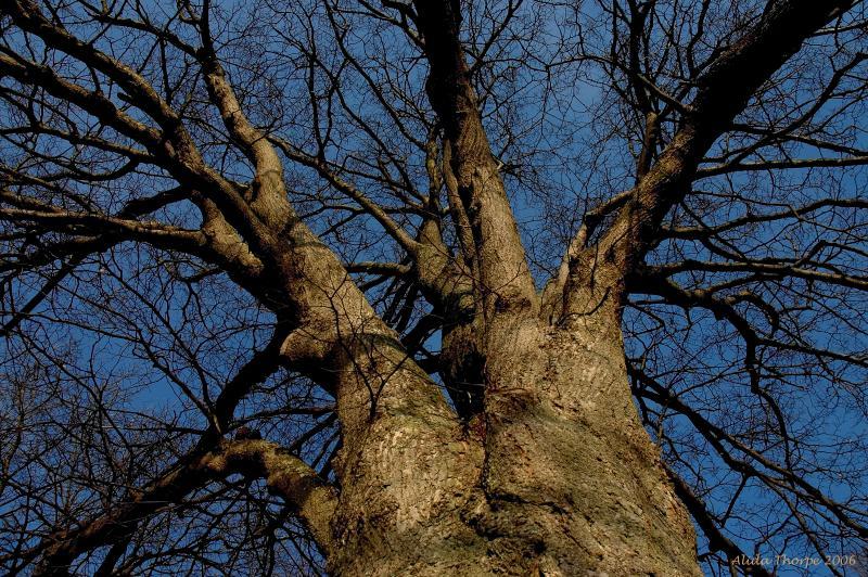 Linden Tree, Winter