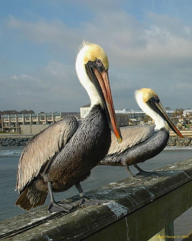 Floridas Brown Pelicans