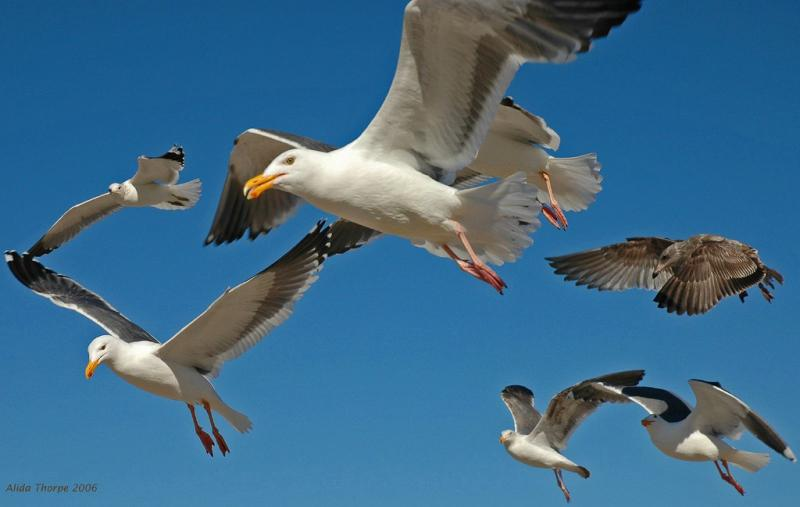 gulls on the rampage