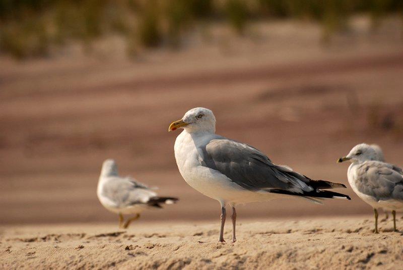 gull on the dunes