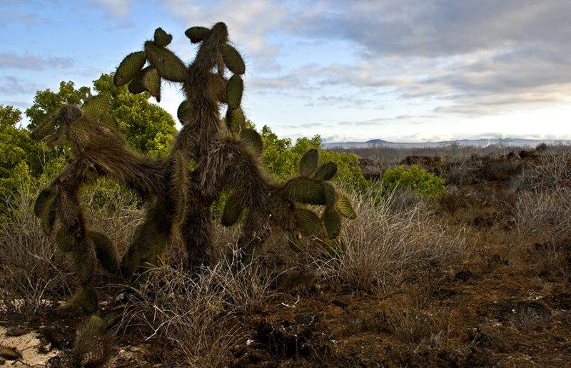 Cacti of Las Bachas