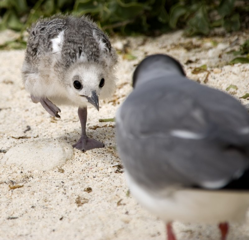 swallow-tail chick.jpg