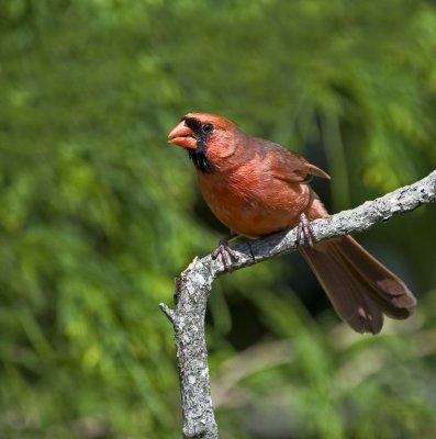 red Northern Cardinal